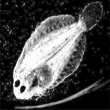 Article image for Feeding protocol for larval husbandry of southern flounder