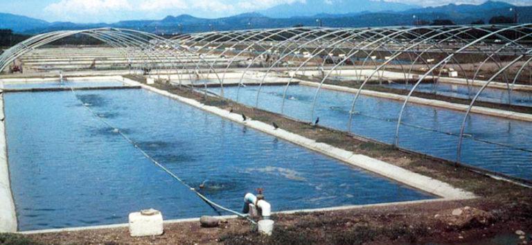 Article image for Tilapia farming in Honduras