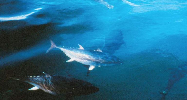 Article image for Aquaculture of pelagic fish, part 2