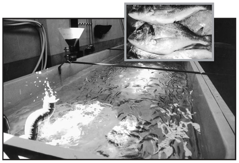 Article image for Commercial production of sea bream fingerlings in Spain