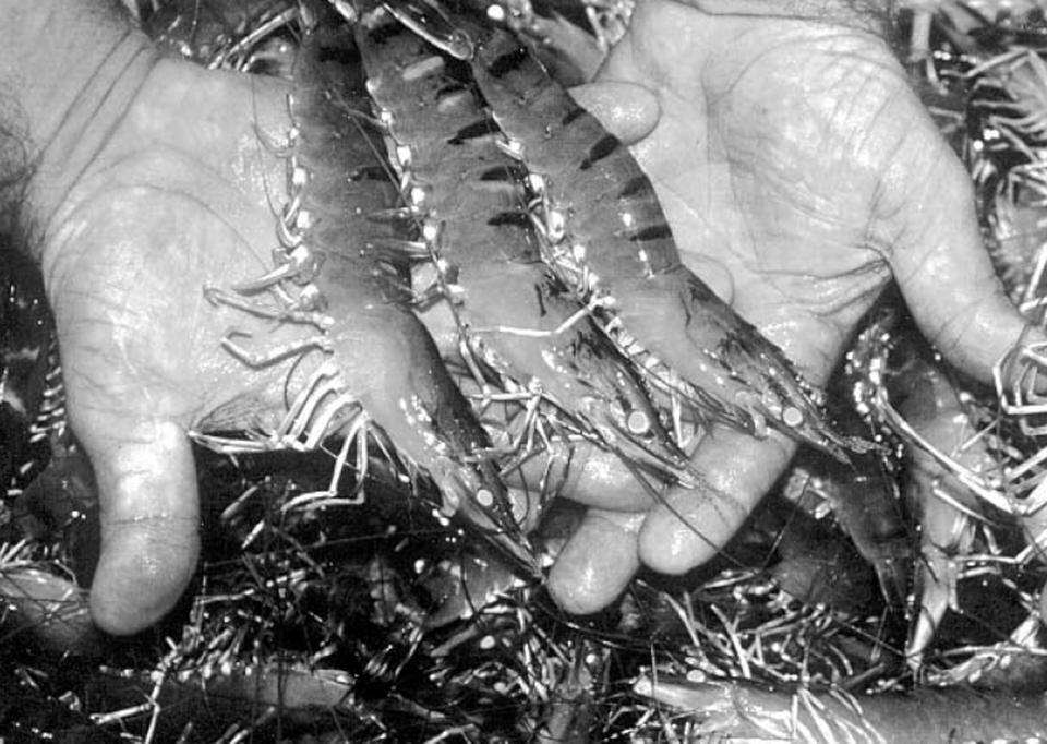 world shrimp farming