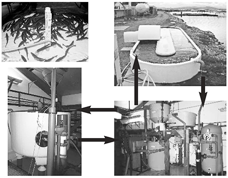 Article image for Sea and brackish water recirculation systems for round and flat fish production, part 2