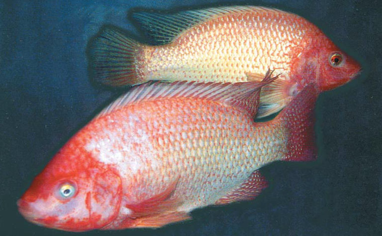 Article image for Advances in tilapia broodstock management