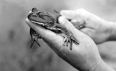 Bullfrog farming