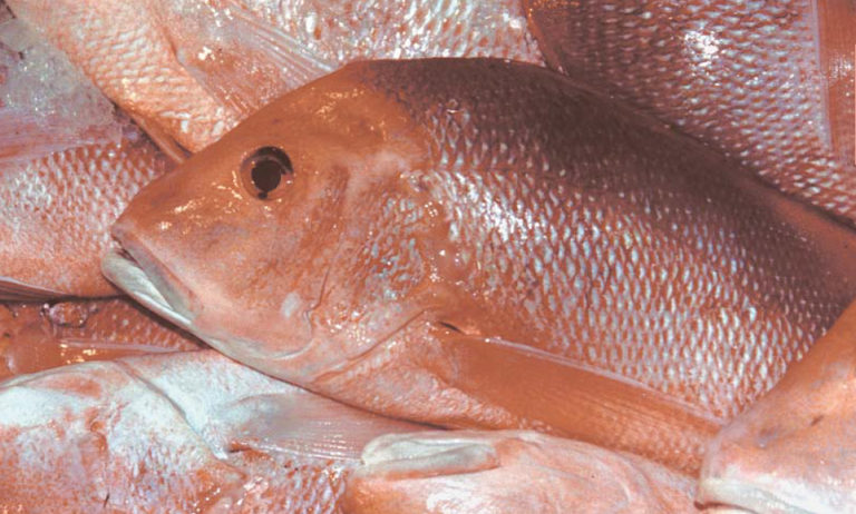 Article image for Culture of red snapper