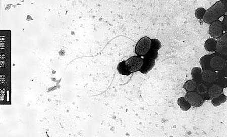 bacterial probiotics