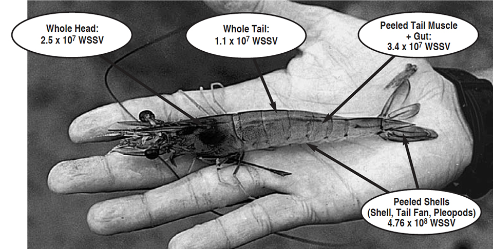 Article image for Viral load in shrimp heads and tails