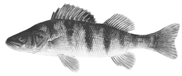 Article image for Prospects for yellow perch aquaculture