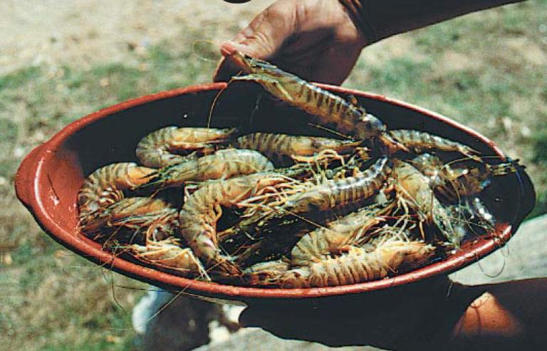 Article image for Farming kuruma shrimp in Japan