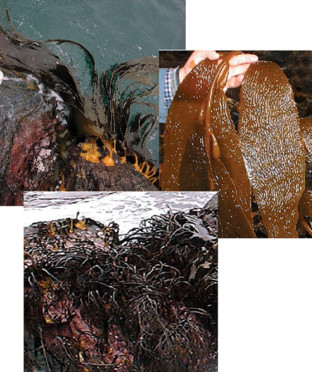 Article image for Seaweed farming in Chile: A review