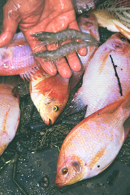 Article image for Polyculture of tilapia and penaeid shrimp