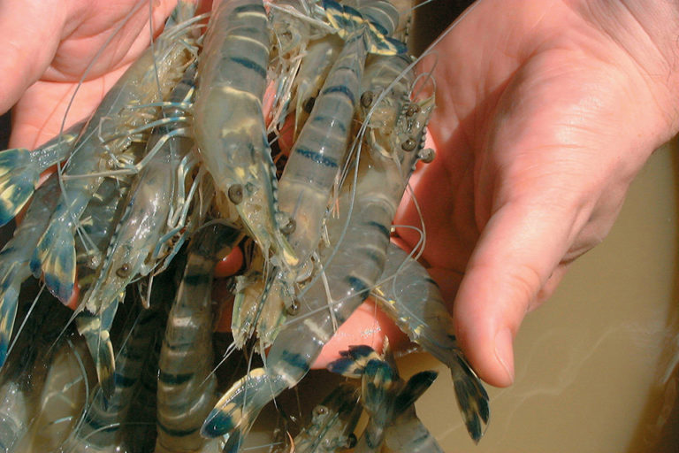 Article image for Improved nutrition enhances immune competence, disease resistance in penaeid shrimp