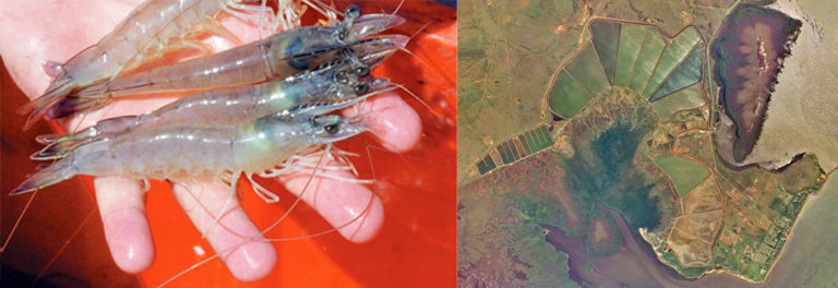 Article image for Shrimp farming in New Caledonia