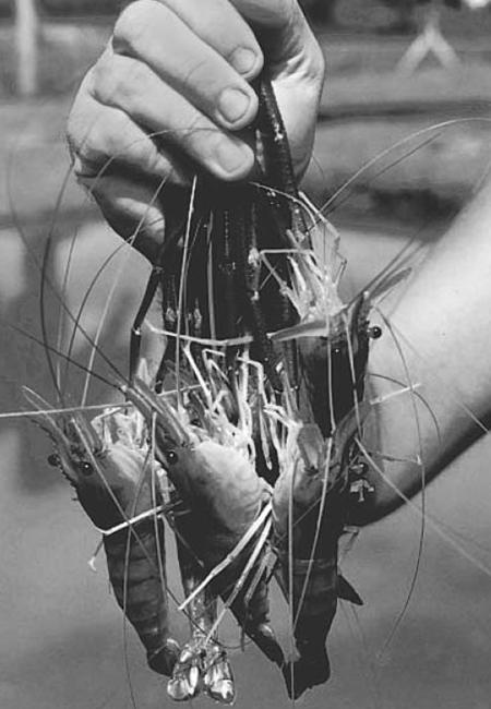 Freshwater prawn farming