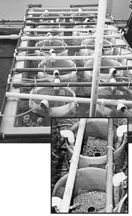seed clams