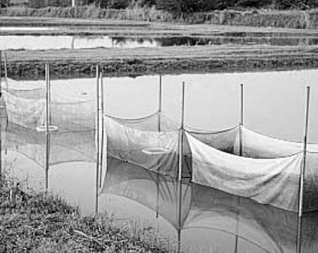 Tilapia farming in Ecuador