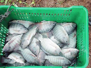 Commercial tilapia production in Panama