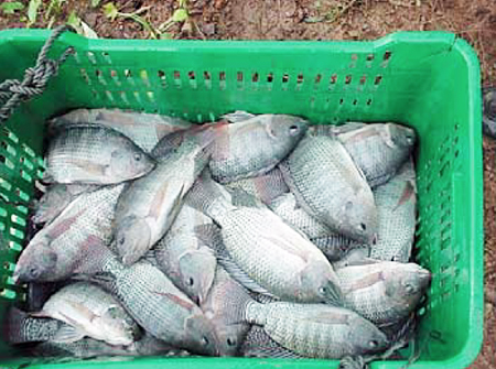 Article image for Commercial tilapia production in Panama