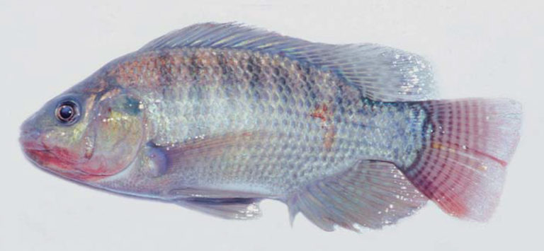 Article image for Diseases found in tilapia culture in Latin America