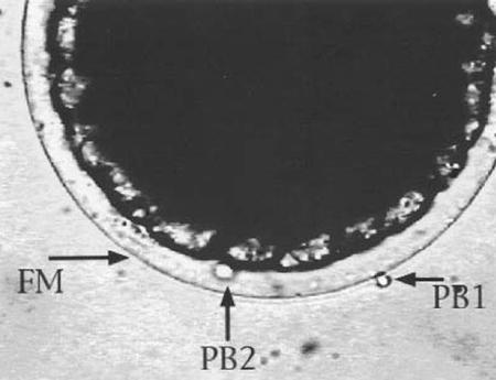 Polyploidy in shrimp