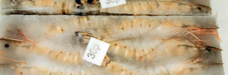 Article image for Heightened surveillance of chloramphenicol residues in shrimp