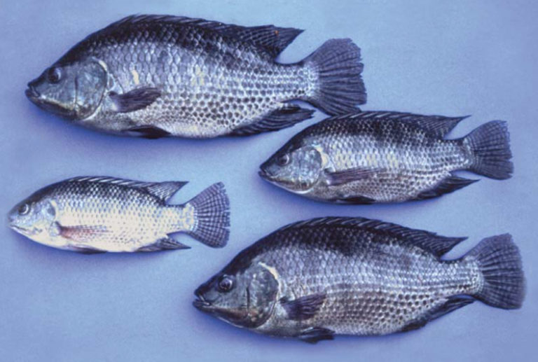 Article image for Tilapia genetics: Applications and uptake