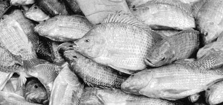 Article image for U.S. tilapia industry seeking FDA approval of methyltestosterone