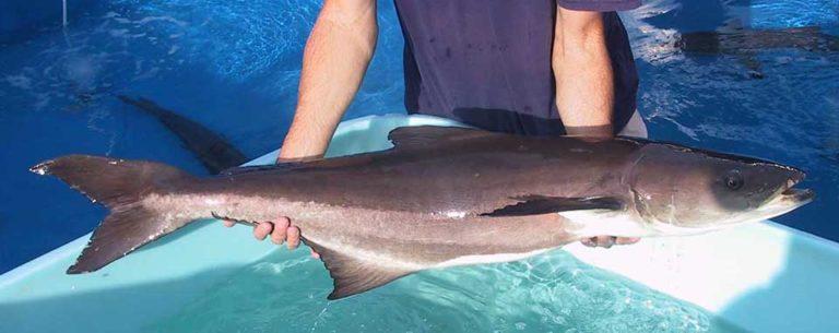 Article image for Aquaculture of pelagic fish, part 5