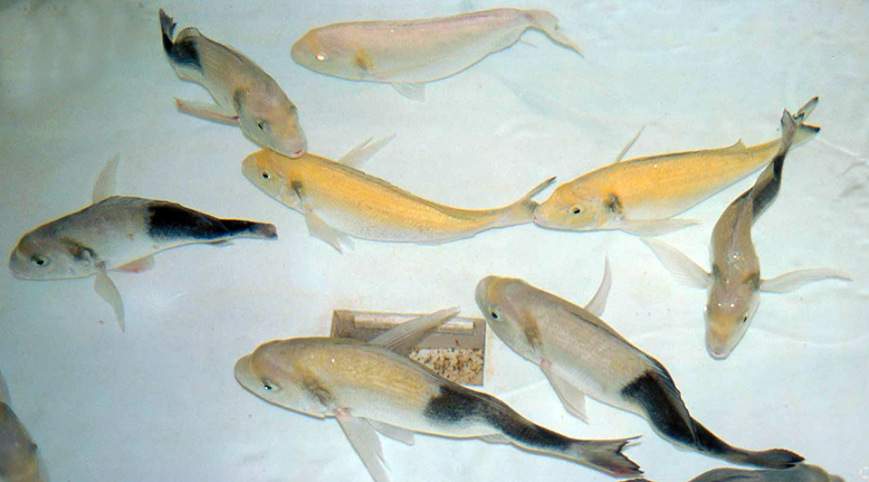 Article image for Genetic improvement of marine fish