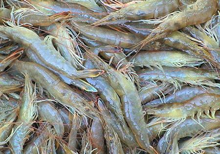 fleshy shrimp