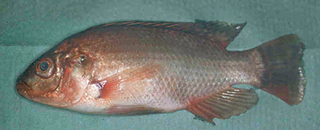 Article image for Scotland study evaluates immune responses, disease resistance in clonal lines of Nile tilapia