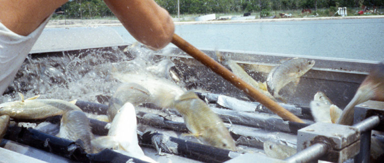 Article image for Growth trials replace fishmeal in red drum diets