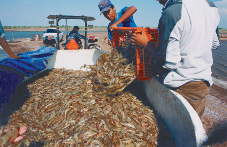 Article image for Partial harvesting: A smart strategy for shrimp farmers