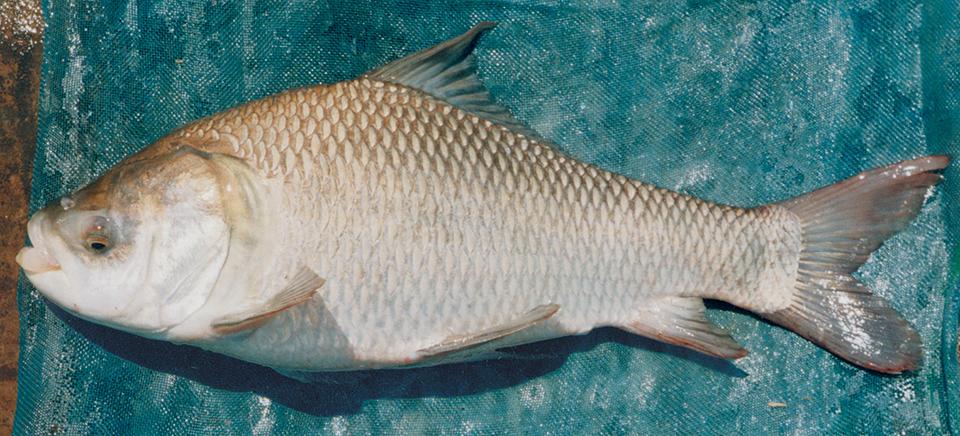 Indian major carp