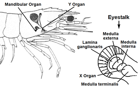 Article image for Role of hormones in shrimp growth, reproduction