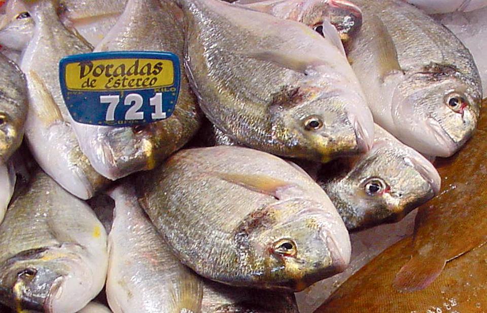 gilthead sea bream