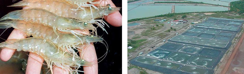 Article image for Development, implementation of shrimp health programs require integrated effort
