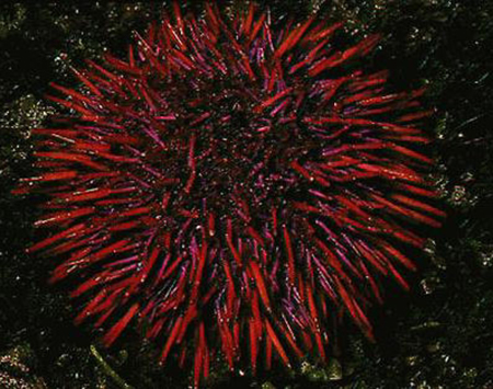 Article image for Sea urchin aquaculture: From laboratory to production