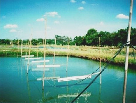 Article image for Night lighting improves tilapia production in Thailand trial