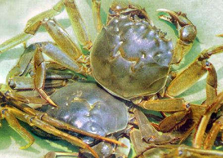 Chinese mitten-handed crabs