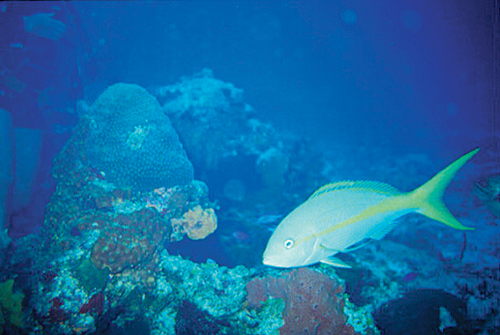 yellowtail snappers