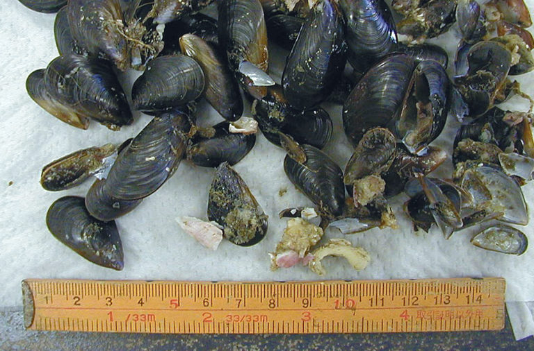 Article image for Blue mussel extracts stimulate flounder feeding