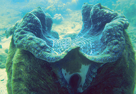Article image for Giant clam mariculture