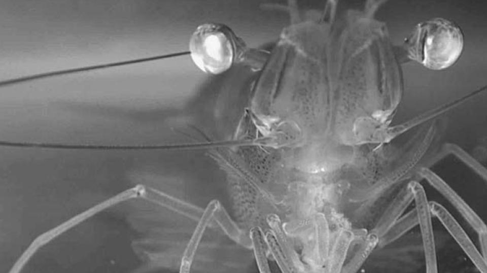 shrimp feeding behavior