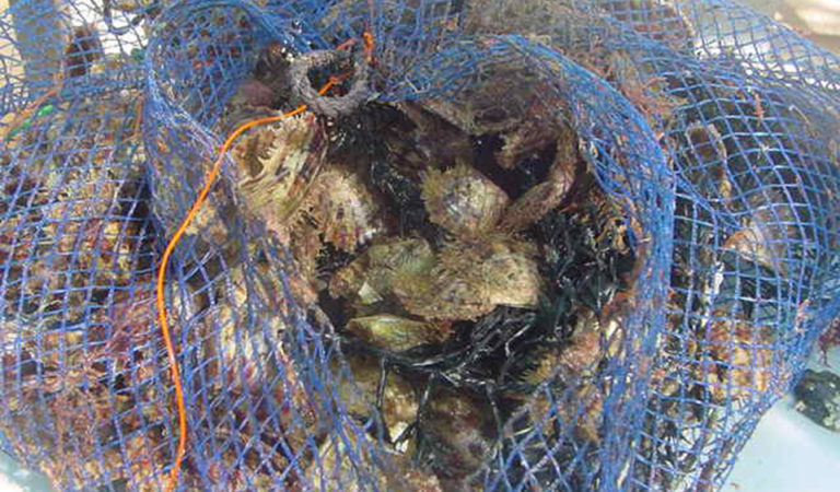 Article image for Akoya pearl oyster culture in Australia
