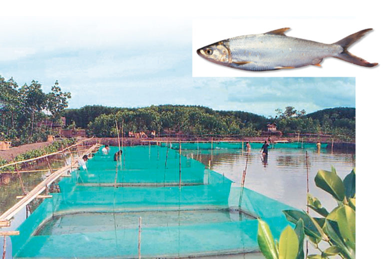 Article image for Polyculture extends production life for ponds with acid sulfate soil