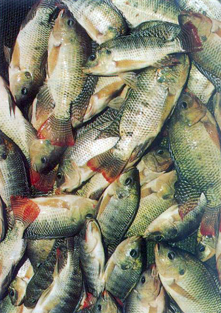 Article image for Tilapia culture systems in Bangladesh