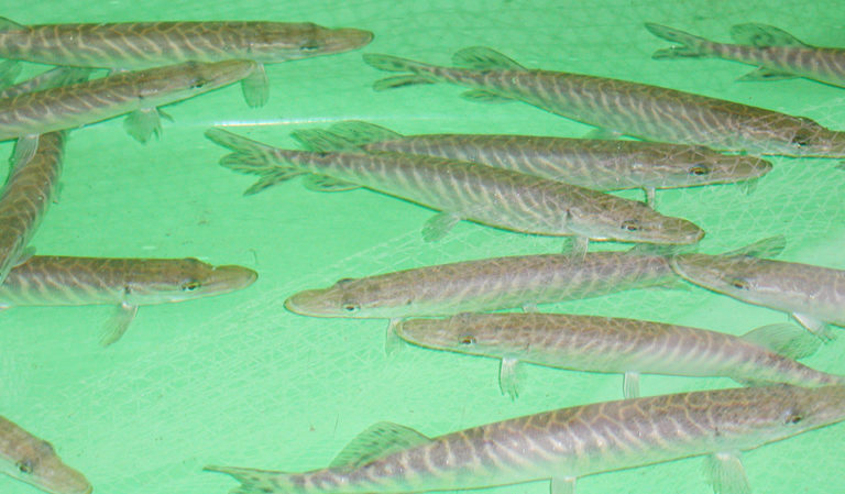 Article image for Early weaning of pike larvae effective in fresh, saline waters