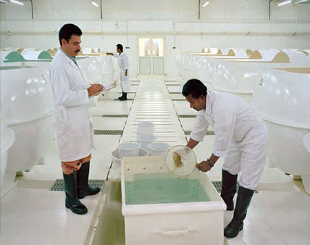 Article image for Integrated NPC project cultures shrimp in Saudi Arabia