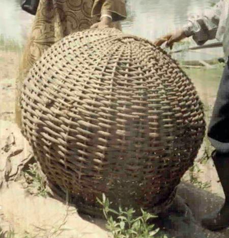 African arrowana